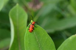 Red Milkweed Beetle on green leaf of Milkweed plant. The milkweed beetle, a herbivore, is given this name because they are generally host specific to milkweed royalty free stock images