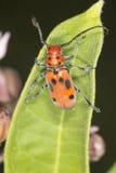 Red milkweed beetle on a leaf at Belding Preserve, Connecticut. Red milkweed beetle, Tetraopes tetraopthalmus, on a milkweed leaf at the Belding Wildlife stock images