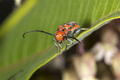 Red milkweed beetle on milkweed plant in Connecticut. Red milkweed beetle, Tetraopes tetraopthalmus, on a milkweed leaf at the Donnelley Preserve in South stock image