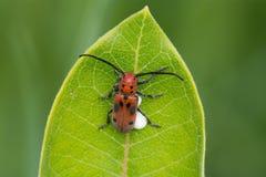 Red Milkweed Beetle. A Red Milkweed Beetle perched on a Milkweed plant leaf stock images