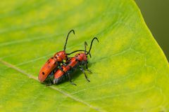Red Milkweed Beetle - Tetraopes Tetrophthalmus Royalty Free Stock Images