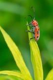 Red Milkweed Beetle - Tetraopes Tetrophthalmus Royalty Free Stock Photo