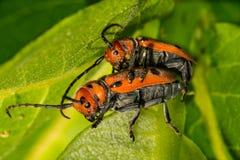 Red Milkweed Beetles breeding on a milkweed leaf. A male and female Red Milkweed Beetle mating on a milkweed leaf in New England royalty free stock photography