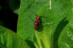 Red milkweed beetles eating milkweed. Leaves. It is a beetle in the family Cerambycidae. The binomial genus and species names are both derived from the Ancient royalty free stock image