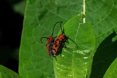 Red milkweed beetles eating milkweed. Leaves. It is a beetle in the family Cerambycidae. The binomial genus and species names are both derived from the Ancient royalty free stock images
