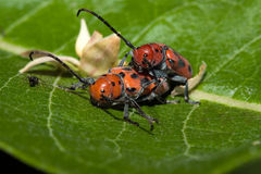 Red Milkweed Beetles Mating Stock Photography