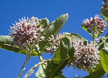 Red Milkweed blossoms Royalty Free Stock Photography