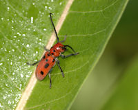 Red Milkweed Bug Stock Photo