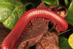 Red Millipedes Stock Photography