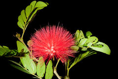 Red Mimosoideae Royalty Free Stock Photo