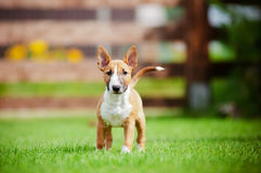 Red miniature bull terrier puppy stock image