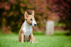 Red miniature bull terrier puppy Royalty Free Stock Photo