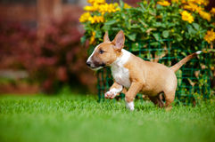 Red miniature bull terrier puppy Stock Images