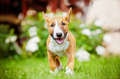 Red miniature bull terrier puppy Stock Photography