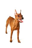 Red Miniature Pinscher. On the white background Royalty Free Stock Photo