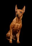 Red Miniature Pinscher. Isolated on black royalty free stock photos