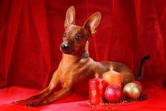 Red Miniature Pinscher Stock Photos