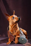 Red Miniature Pinscher Stock Photos