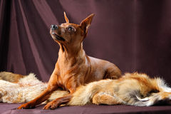 Red Miniature Pinscher Royalty Free Stock Photography
