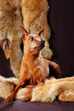 Red Miniature Pinscher Stock Photo