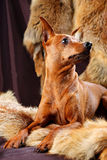 Red Miniature Pinscher Royalty Free Stock Photo