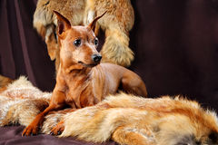 Red Miniature Pinscher Royalty Free Stock Image