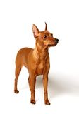 Red Miniature Pinscher loking up Stock Image