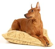Red Miniature Pinscher lying on the pillow. This is a Red Miniature Pinscher lying on the pillow Stock Photo