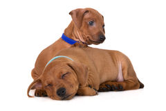 Red miniature pinscher puppies Royalty Free Stock Photography