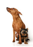 Red Miniature Pinscher and yorkie puppy Royalty Free Stock Photos