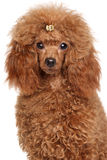 Red Miniature poodle Royalty Free Stock Image