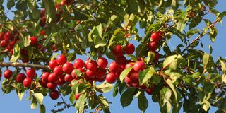 Red Mirabelle Plums / Prunes Prunus domestica syriaca growing on tree branches, lit by sun.  stock photos