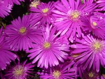 Red Mittagsblume, Ice Plant, Flower Royalty Free Stock Photo