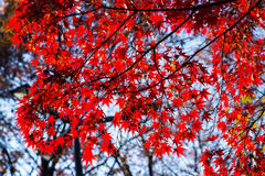Red momiji leafs Royalty Free Stock Photography