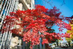 Red momiji tree Royalty Free Stock Images