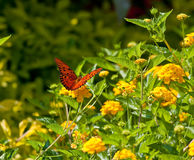 Red Monarch on Yellow Lantana Wings Spread Stock Images