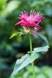 Red Monarda (Monarda didyma) flower Royalty Free Stock Photos