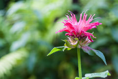 Red Monarda (Monarda didyma) flower Stock Photo