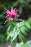 Red Monarda (Monarda didyma) flower closeup Stock Image