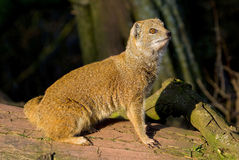 Red Mongoose Stock Photo