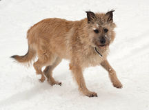 Red mongrel dog goes on snow Royalty Free Stock Image