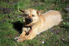 Red mongrel dog on the grass Stock Photography