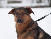 Red mongrel dog sitting on snow Stock Photos