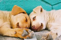 Red mongrel puppies sleeping on the road Stock Photo