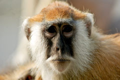 Red monkey Stock Image