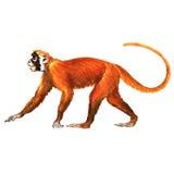 Red monkey, animal, isolated Stock Photo