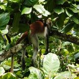 Red monkey sleeping Stock Image
