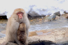 Red monkey at snow monkey park in the Japan Stock Photo