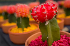 Red Moon Cactus Stock Images