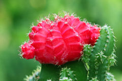 Red Moon cactus Royalty Free Stock Photography